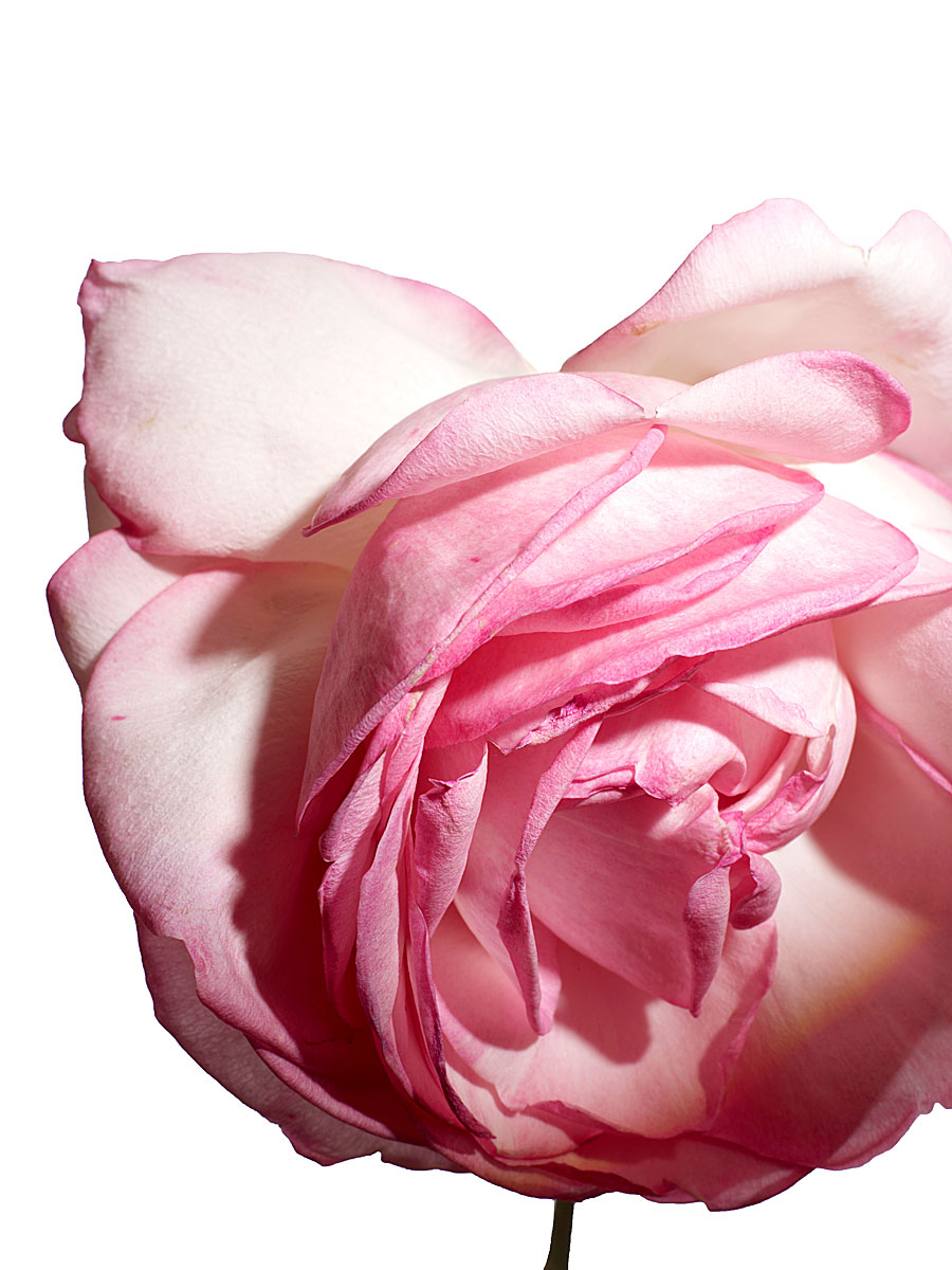 Rose - Photo by Henry Bourne | Yellowtrace