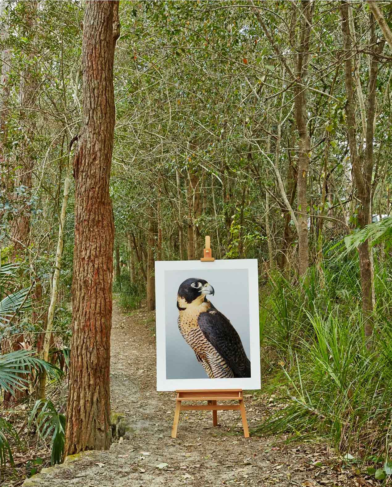 'Cleo' Peregrine Falcon in situ by Leila Jeffreys   Yellowtrace