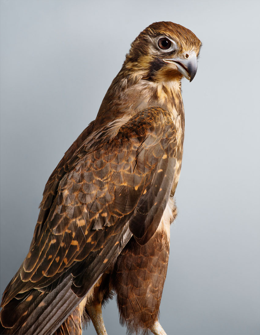 'Darcy' Brown Falcon by Leila Jeffreys   Yellowtrace