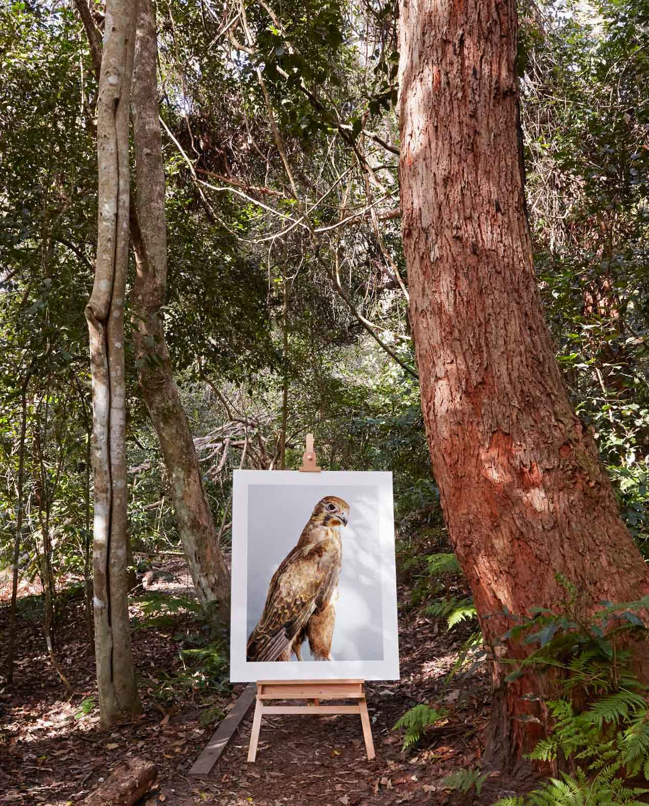 'Darcy' Brown Falcon in situ by Leila Jeffreys   Yellowtrace