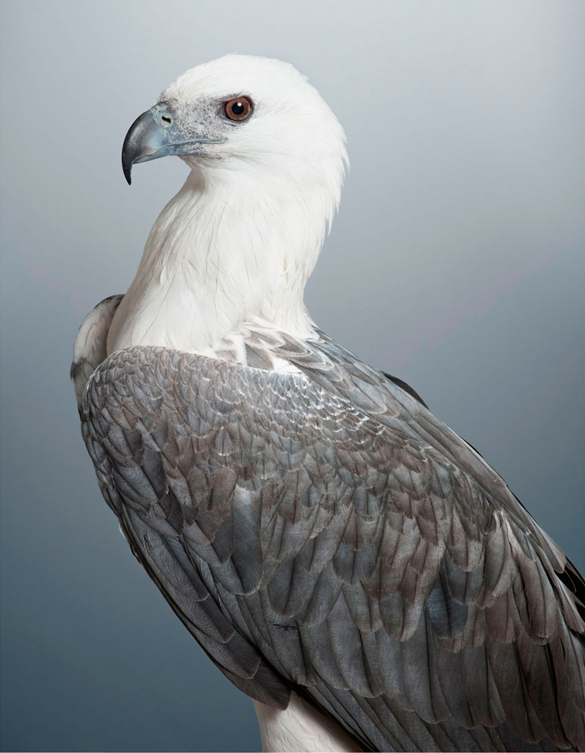 'Dexter' White Bellied Sea Eagle by Leila Jeffreys   Yellowtrace