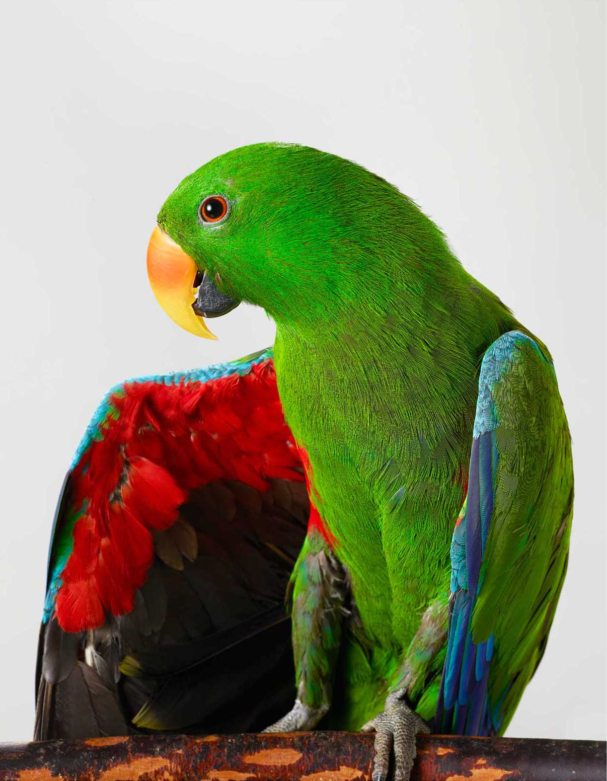 'Oscar' Eclectus Parrot outtake by Leila Jeffreys   Yellowtrace