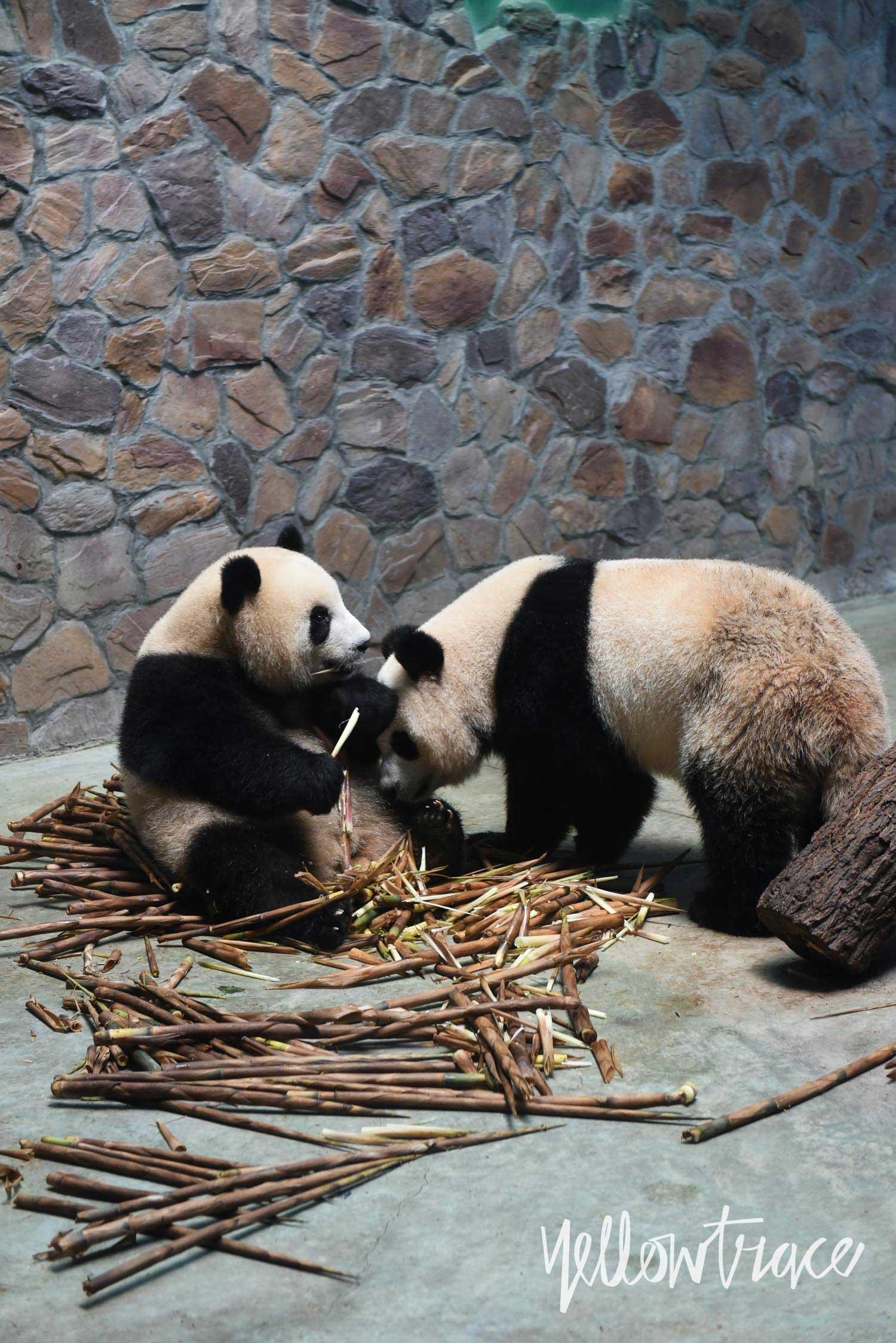 Chengdu Research Base of Giant Panda Breeding, Photo © Nick Hughes | Yellowtrace