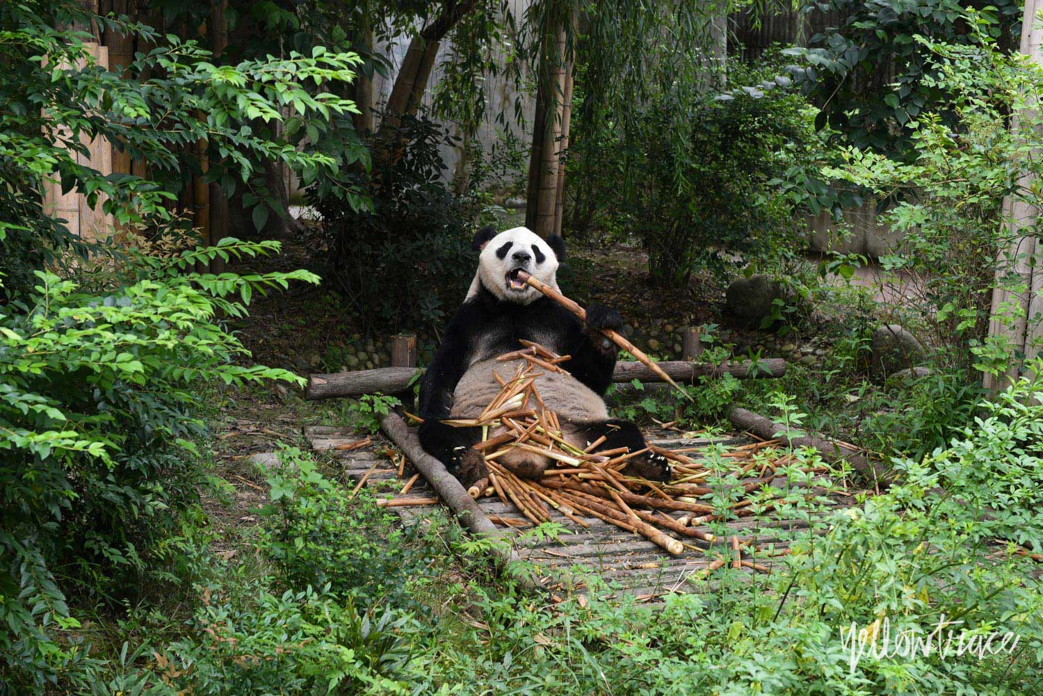 Chengdu Research Base of Giant Panda Breeding, Photo © Nick Hughes | Yellowtrace