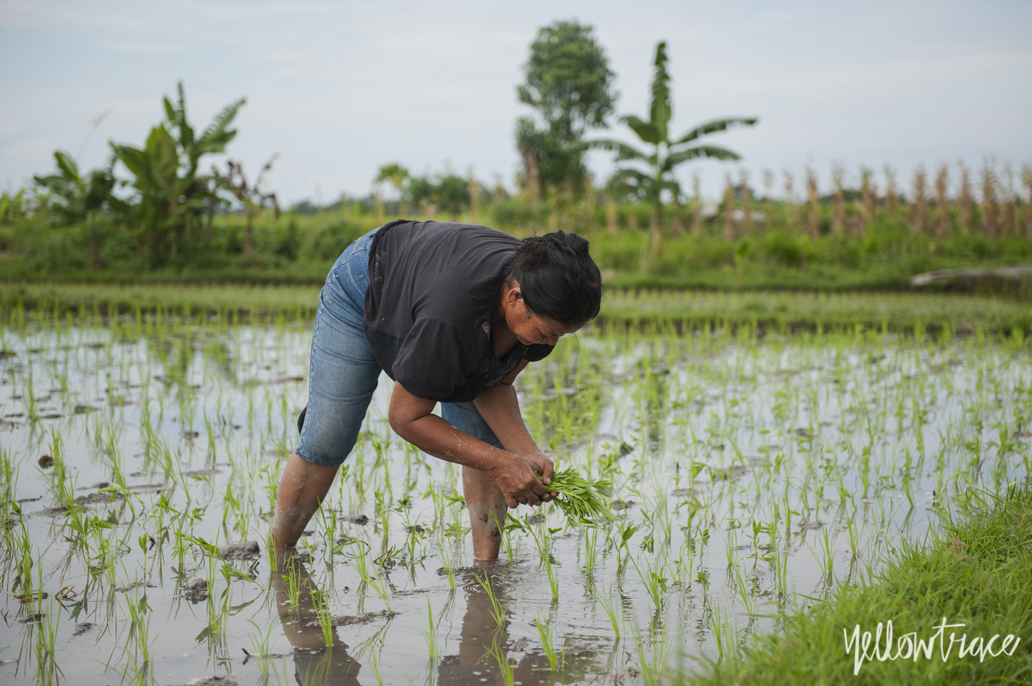 Rice Fields at Desa Cepaka Bali Photo © Nick Hughes | Yellowtrace
