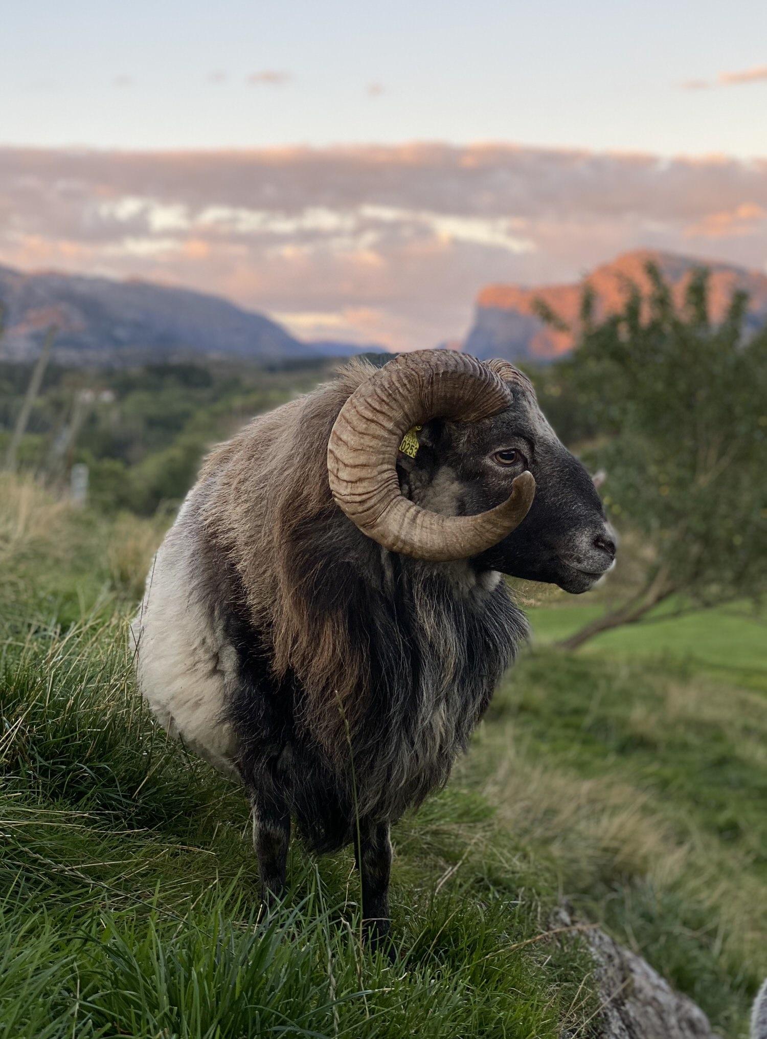 Stylecraft Eikund Production Norweigan Sheep Yellowtrace 14